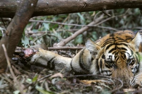 animal poaching tigers - photo #27