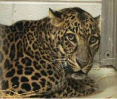 Leopard killed in accident at Zoo