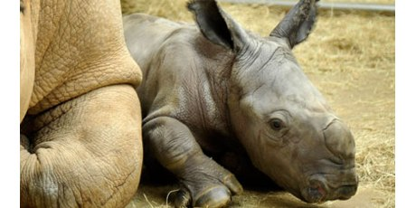 Avaaz - Save the Rhinos!