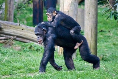 What Chimps Could Tell Us About How Humans Started Walking on Two Legs | Hominid Hunting