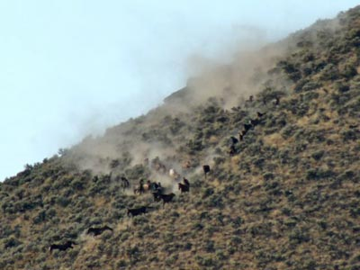 Wild horses forced to gallop down steep hill at Twin Peaks rounup