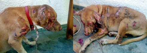 Leo's recovery - Stray dog in Greece doused in Acid. - YouTube