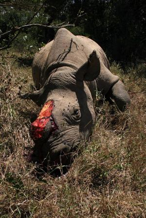 Reference only - Rhino horn is in big demand.