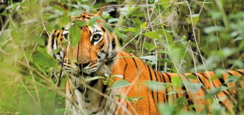 "Tigers are thriving in and around India's Nagarhole National Park, with a regional population of 250. ""If we do everything right, we can have 500,"" says big-cat biologist Ullas Karanth.  Read more: http://www.smithsonianmag.com/science-nature/The-Fight-to-Save-the-Tiger.html#ixzz1qG95oEf7"