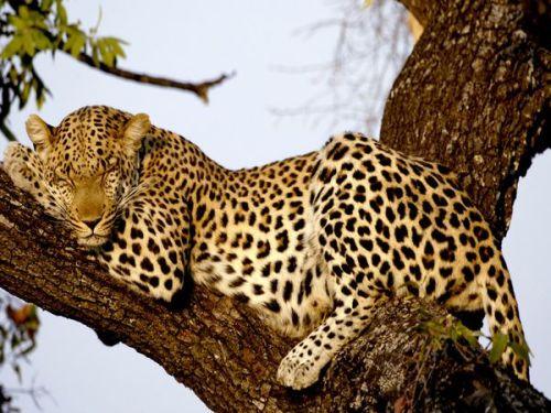 leopard_606_600x450