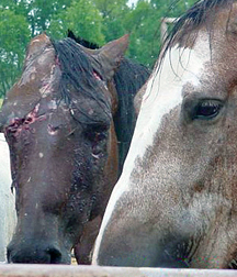 horse slaughter1
