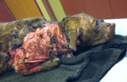 Pregnant Pit Bull Set On Fire