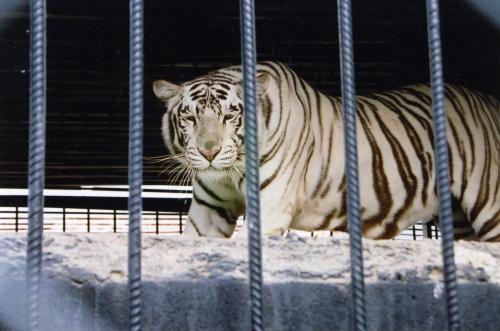 tigers9