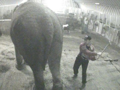 Anne Elephant in England Abused By Groom. Owners were charged