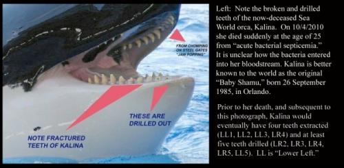 killer whale1