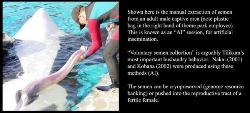 killer whale4